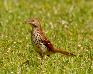 Brown Thrasher  in MS