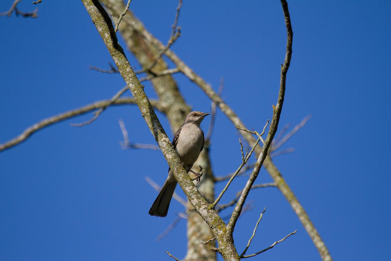 Proud Mockingbird