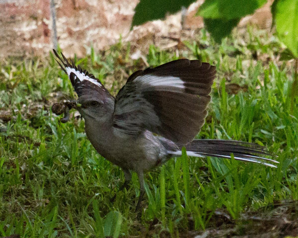 Angry Mockingbird with Worm