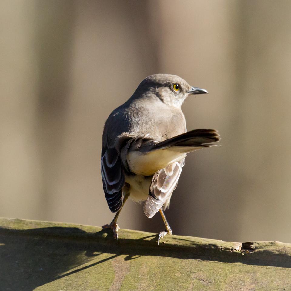 Mockingbird from Behind