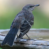 Juvenile Mockingbird At My Birdbath