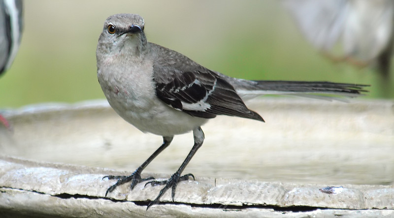 Mockingbird Face Shot