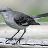 Mockingbird At My Bird Bath