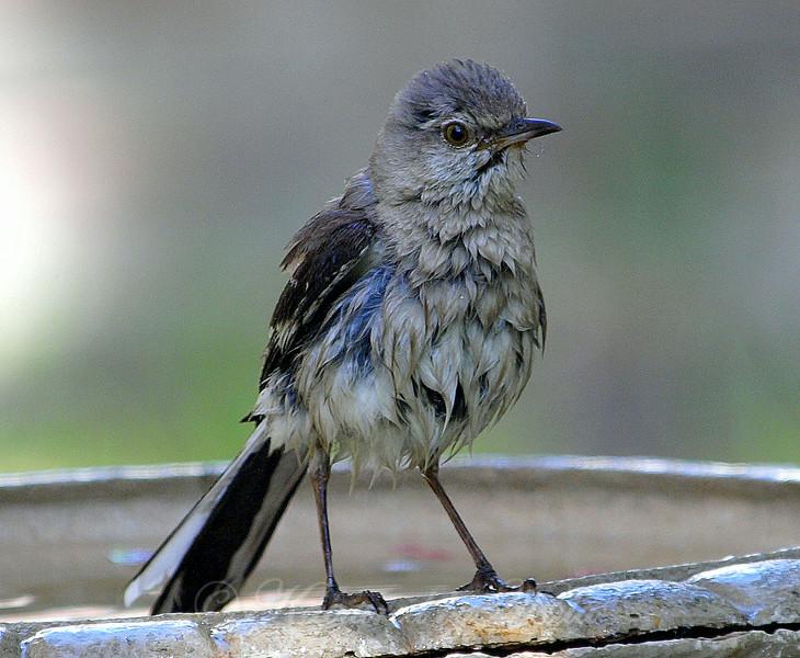 Wet Mockingbird View 1