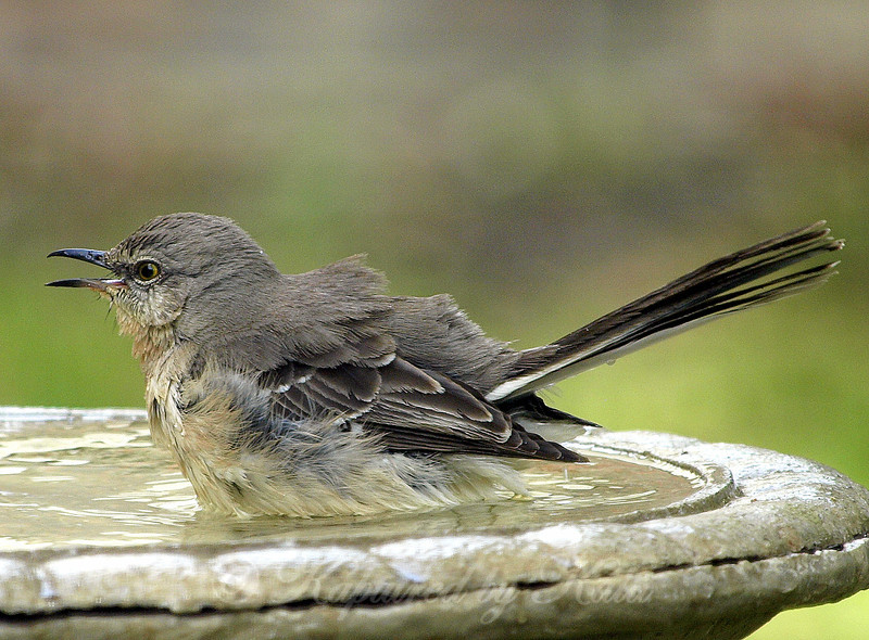 Happy Mockingbird Soaking in the Bird Bath