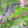 Juvenile Mockingbird In My Crepe Myrtle