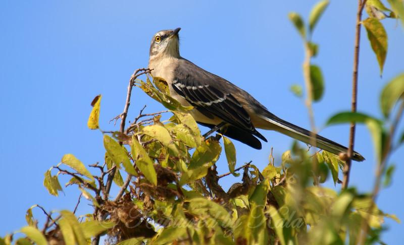 Bright Eyed Mockingbird