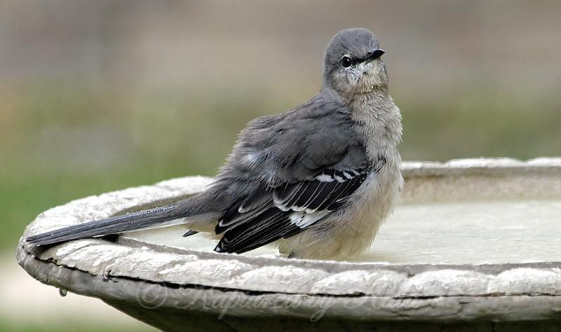 Pretty Little Mocker In My Bird Bath View 2