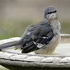 Pretty Little Mocker In My Bird Bath View 2