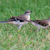 Two Juvenile Mockingbirds