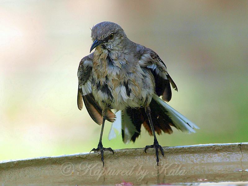 Wet Mockingbird View 2