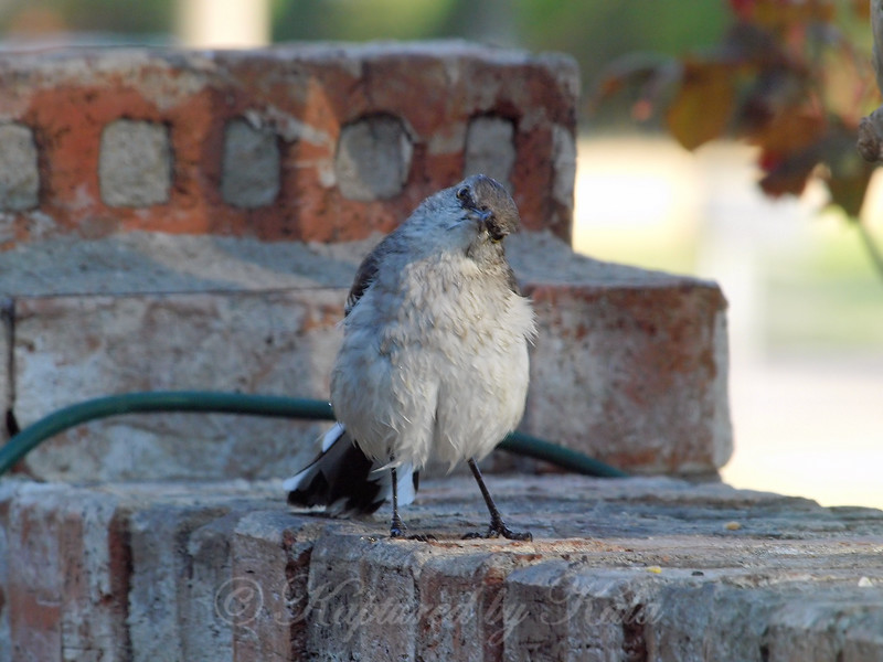 Angry Mockingbird Drying Off After A Bath View 1