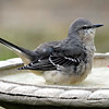 Pretty Little Mocker In My Bird Bath View 1