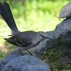 Mockingbird Contemplating a Dip in the Fountain Rather Than the Bird Bath