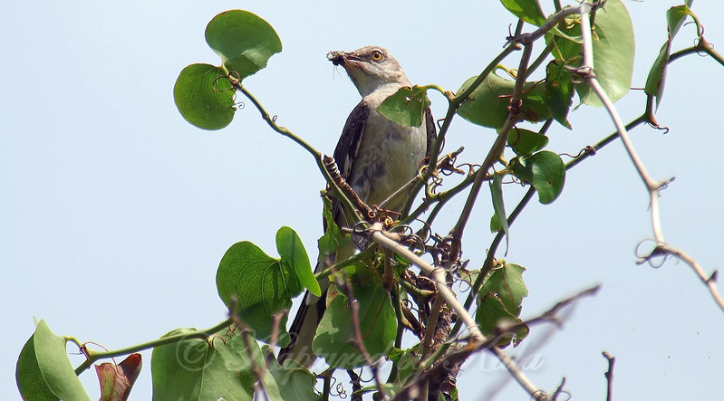 Mockingbird With A Snack For  The Kids