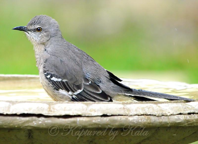 Mockingbirds Love My Bird Bath