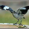 Juvenile Mockingbird Posturing