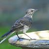 Northern Mockingbird in Molt