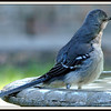 This Mockingbird Looks Like he Swallowed a Lightbulb