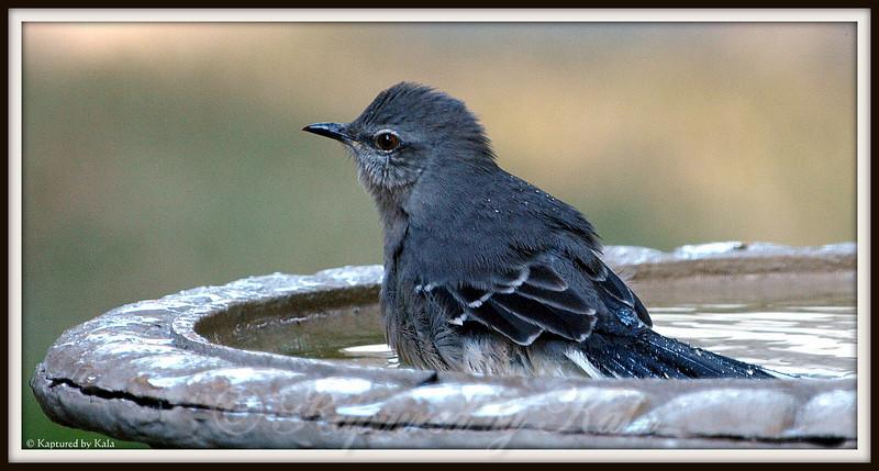 Baby Mockingbird in Birdbath
