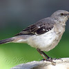 Another Pretty Mockingbird