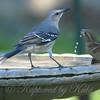 Mockingbird With Sparrows