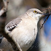 Mockingbird With Nesting Material