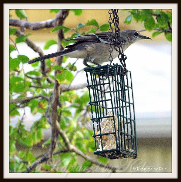 Mockingbirds Like Suet Too
