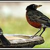 Robin & Mockingbird at Birdbath