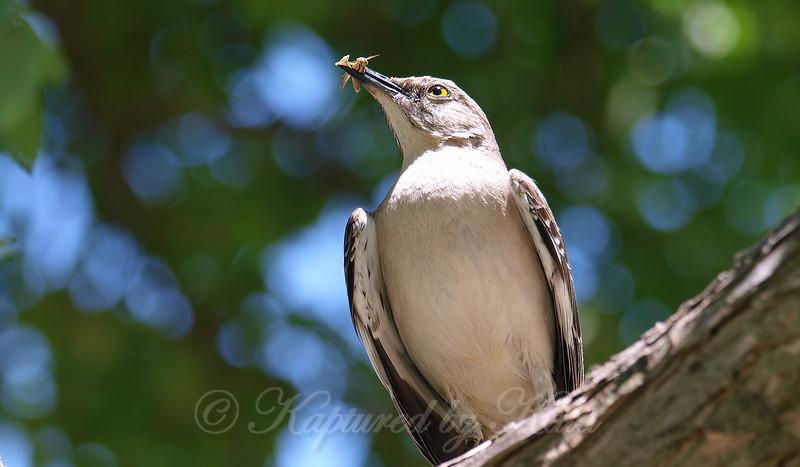 Mockingbird With Tiny Grasshopper