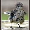 Drenched Mockingbird