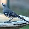 Gargling Mockingbird