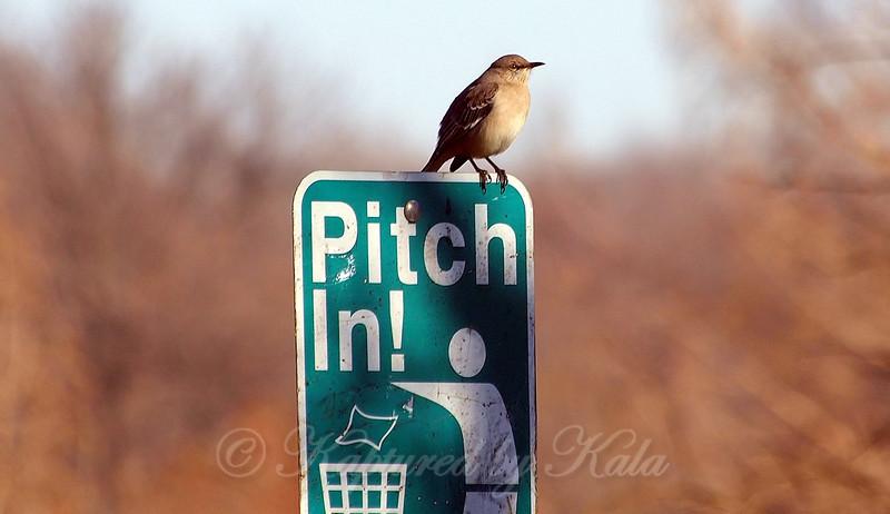 Civic Minded Mockingbird