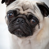 One of the couple's pugs looks on