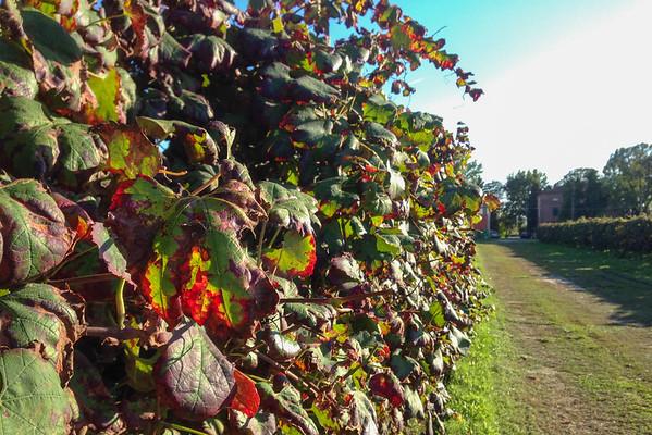 Lambrusco di Sorbara grapes at Garuti Winery