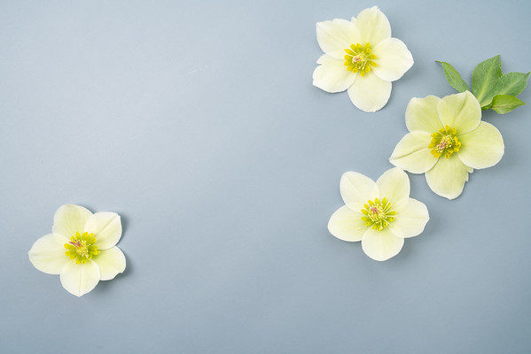 Hellebore Floral Flat lay (7)