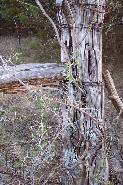 fencepost thorns