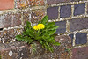 12th Apr 10: How does a Dandylion find enough nourishment in an old bridge  wall.  Westbury Lane in Purley on Thames