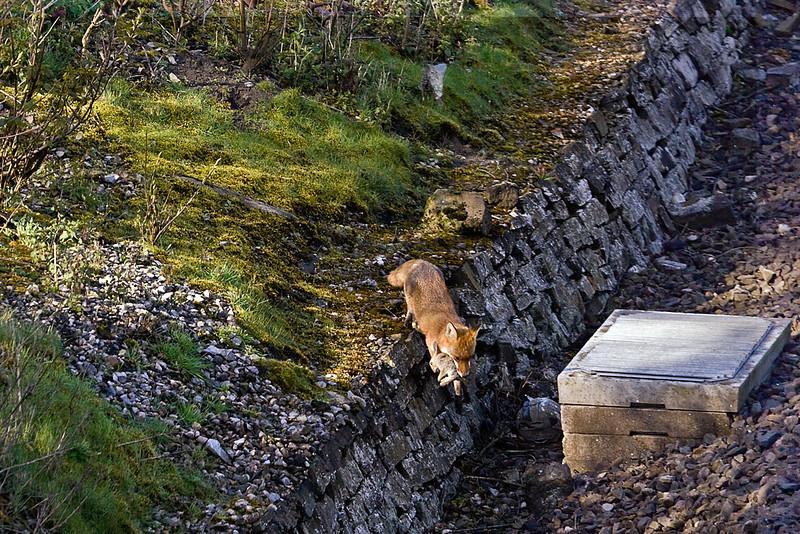 20th Apr 10: Freddiy Fox with Rabbit for lunch-  Stanlake Lane in Twyford