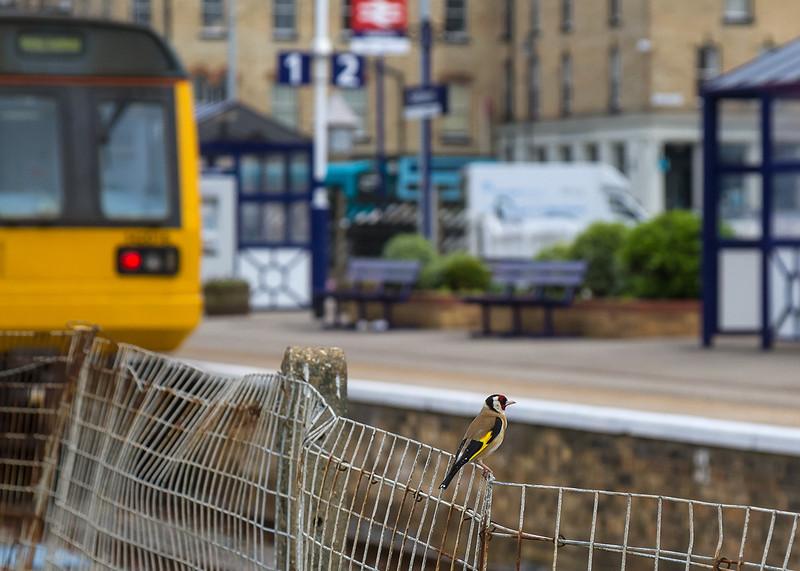 1st Jun 14:  Train spotting Gold Finch at Saltburn