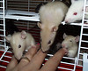 "Rogue's babies grooming Diamond Bobby Sue. ""This is a litter of ratties just turning 5 weeks and in the middle of separating from mom, they decided to groom me for awhile."""
