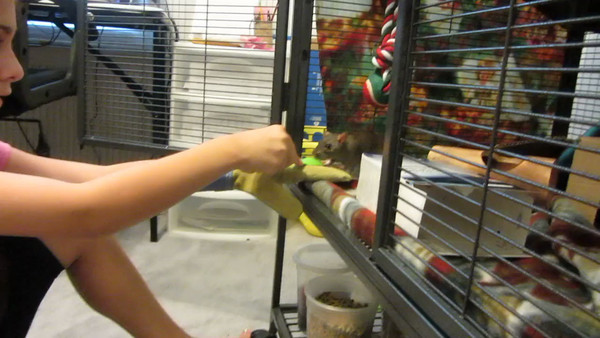 "Emily practices working with shy rats by using positive reinforcement. She is watching the rat inside the cage, and when the rat makes a friendly gesture towards her, she practices moving quickly in with the spoon of treat. Repeatedly clicking on the moment of the good behavior and then moving in with the treat will ""charge the clicker"". The rat will learn that the moment she hears a click, the behavior she just did was desired, and will be rewarded. She learns to be more friendly. Thanks to mom Lanie for permission to host."
