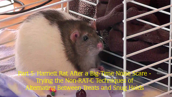 Harriett was unexpectedly very frightened by an loud, jarring noise. Using treats and brief snug holds, she works her way back to calmness, even to the point of finally feeling safe enough to munch treats.