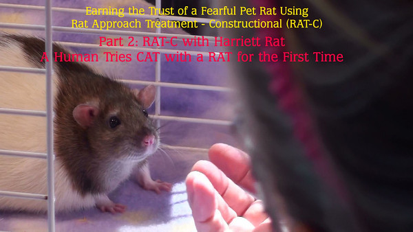 "Session 1, Part 2: Gwen tries and fails to do RAT-C correctly. This is the only video in this set that contains attempts to do RAT-C (CAT). The human has to approach and retreat from the rat timed exactly, precisely at the tiniest of calm behaviors - just the flicker of an ear, for example. Gwen had to roll her eyes on viewing this video, and said to herself, ""What were you waiting for, Gwen, for Harriett to fall asleep before you retreated?"" What a learning experience! Becoming observant and responsive to a rat's body language is intensely focused and yet has the potential to be extraordinarily rewarding for both human and rat."