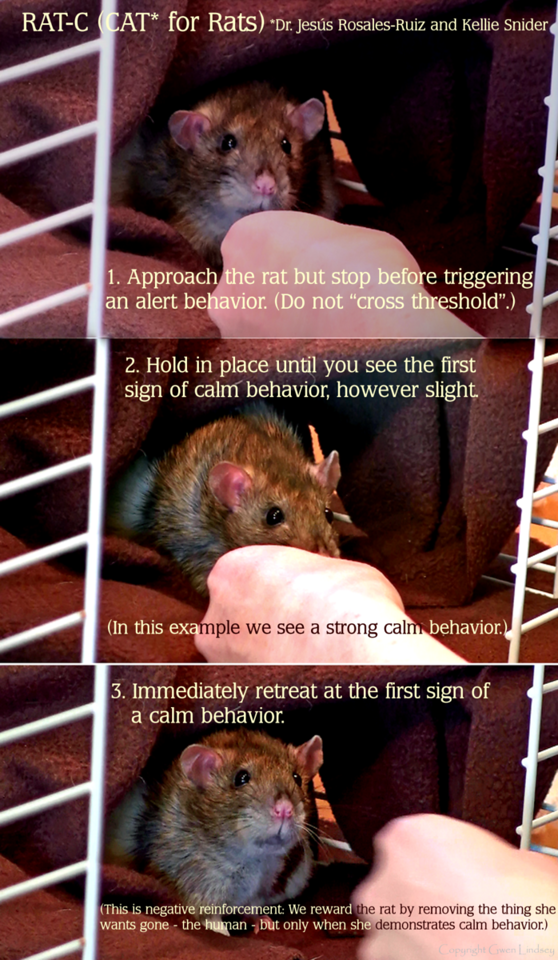 Three frames from a RAT-C session with Harriett, which show: 1. Human approaches but stops before triggering any additional alert behavior. (Human should not cross threshold.) 2. Harriett decides to respond with a very strong calm behavior of reaching toward the hand. (Important: even tiny, subtle, flickering signs of calm behavior are rewarded in CAT.) 3. Human rewards her by retreating.  This sums up the CAT (Constructional Aggression Treatment) method, showing how it works with a rat.  This method uses negative reinforcement: We would like calm behavior to increase (be reinforced). Harriett considers removal of the human to be a reward - this is something she desires. So when Harriett demonstrates a calm behavior, the human takes herself away, which is the aspect of negative (taking something away, out, as in mathematically subtracting).  Negative reinforcement. Reward the rat by giving her the thing she wants: take away the human. Because we remove the human when Harriett demonstrates calm behavior, we reinforce her calm behavior. Meaning she will become more calm over time.  CAT professionals talk about how the animal reaches a switch-over point, where the fearful behaviors become intrinsically friendly.   To me it is awesome that we could help a frightened rat by removing ourselves, which the rat experiences as a reward, and in the end we have a friendly rat who will seek us out positively.