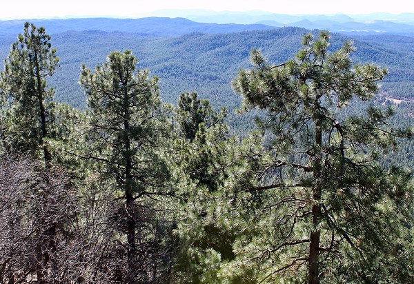 Pine trees on the edge of the Mogollon Rim (2017)