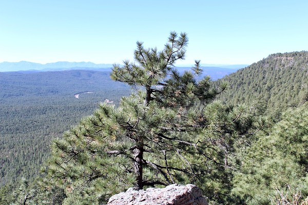 Pine tree on the edge of the Mogollon Rim (2017)