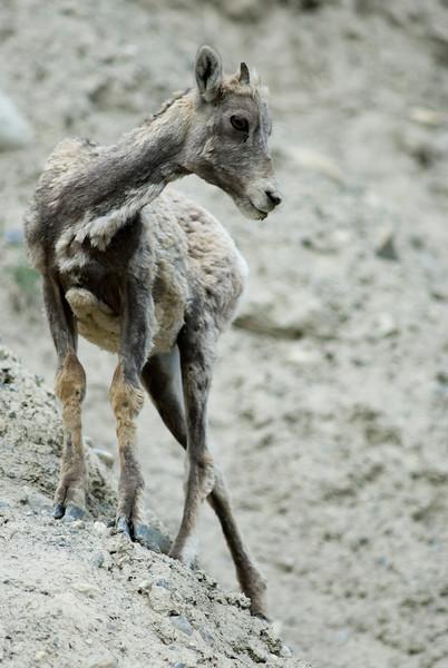 Bighorn sheep kid