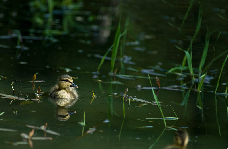 baby duck - mallard duckling - with reflections in a still pond or lake<br /> <br /> Nature Stock Photography by Christina Craft