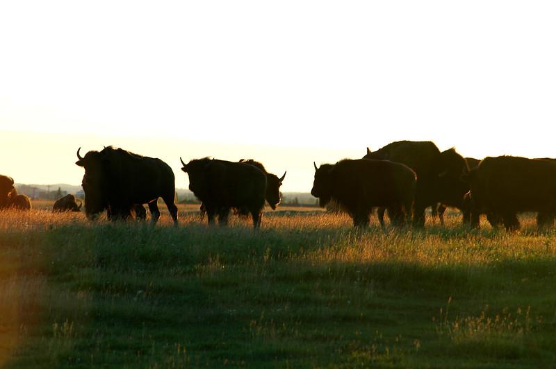 Bison farm - Stock Photo by Nature Photographer Christina Craft